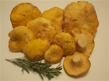 Golden Chanterelles (California) - Cantharellus Californicus