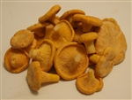 Golden Chanterelles (Europe) - Cantharellus Cibarius