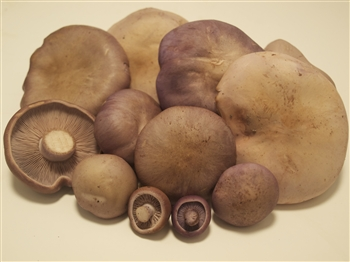 Blue Foot - Clitocybe Nuda