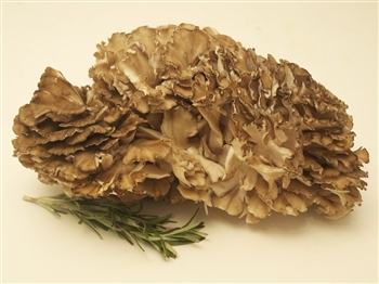 Hen of the Woods/Maitake - Grifola Frondosa