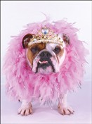 1187 BD Bulldog with feather boa
