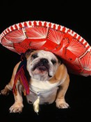 1241 BD Bulldog with red sombrero