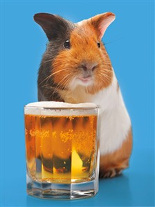 1309 BD Guinea pig with beer