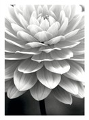5412 SY Black & white chrysanthemum