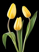 5429 SY Yellow tulips