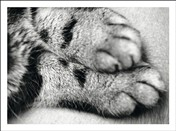 5511 PS Cat paws