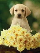 6417 TY Dog & yellow roses