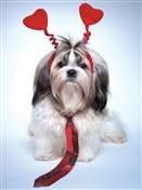 8158 VL Shih tzu with tie & hearts