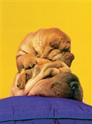 8717 FD Shar-pei puppy on head
