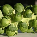 Long Island Improved Brussels  Sprouts | The Good Seed Company