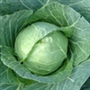 Cabbage - Danish Ballhead | The Good Seed Company