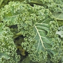 Kale - Blue Scotch Curled | The Good Seed Company