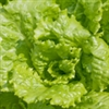 Lettuce - Black Seeded Simpson | The Good Seed Company