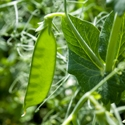 Dwarf Grey Sugar Snow Peas | The Good Seed Company