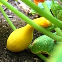 Summer Squash - Yellow Crookneck | The Good Seed Company