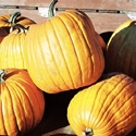 Winter Squash - Pumpkin - Connecticut Field | The Good Seed Company