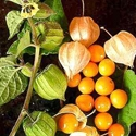 Ground Cherry - Cape Gooseberry | The Good Seed Company