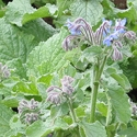 Herb - Borage | The Good Seed Company