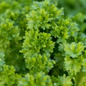 Herb - Parsley - Moss Curled | The Good Seed Company