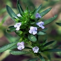 Herb - Summer Savory | The Good Seed Company