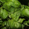 Herb - Basil - Genovese | The Good Seed Company