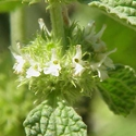 Herb - Horehound | The Good Seed Company