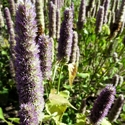 Herb - Anise Hyssop | The Good Seed Company