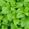 Herb - Lemon Balm | The Good Seed Company