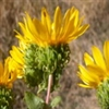 Herb - Gumweed | The Good Seed Company