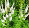 Herb - Culver's Root | The Good Seed Company