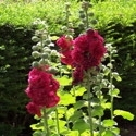 Hollyhock, Tea Kettle Mtn. Mix | The Good Seed Company