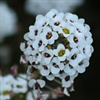 Sweet Alyssum | The Good Seed Company