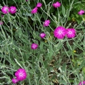 Rose Campion | The Good Seed Company