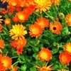 Calendula | The Good Seed Company