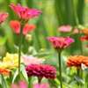 Zinnia - Lilliput Mix | The Good Seed Company