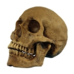 Aged Fake Skull Prop - Resin