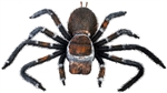 Creepy Tarantula Prop - large Spider