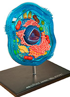 4D Science Animal Cell Model