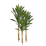 ADFT71 Three Dracaena Fragrans