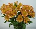 Wholesale Bulk Discount Alstroemeria Peruvian Tiger Lily - Orange