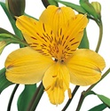 Wholesale Bulk Discount Alstroemeria Peruvian Tiger Lily - Yellow