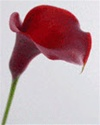 Mini Calla Lily Red Majestic Burgundy
