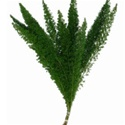 Wholesale Bulk Discount Wholesale Foxtail Fern