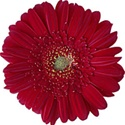 Gerbera Daisy - Dark-Red