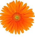 Gerbera Daisy - Orange - Lt. Center
