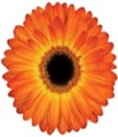 Gerbera Daisy - Orange-Yellow BiColor
