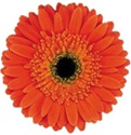 Gerbera Daisy - Orange - Dark Center