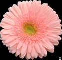 Gerbera Daisy - Light Pink