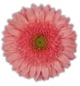 Gerbera Daisy - Medium Pink