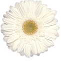 Gerbera Daisy - White/Yellow Eye